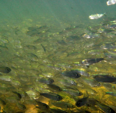 Alewives doing a dead bait roll.