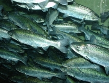 King salmon are used in aquaculture worlwide.