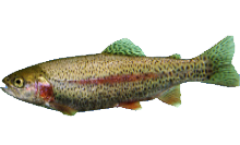 Rainbow Trout/Steelhead Trout