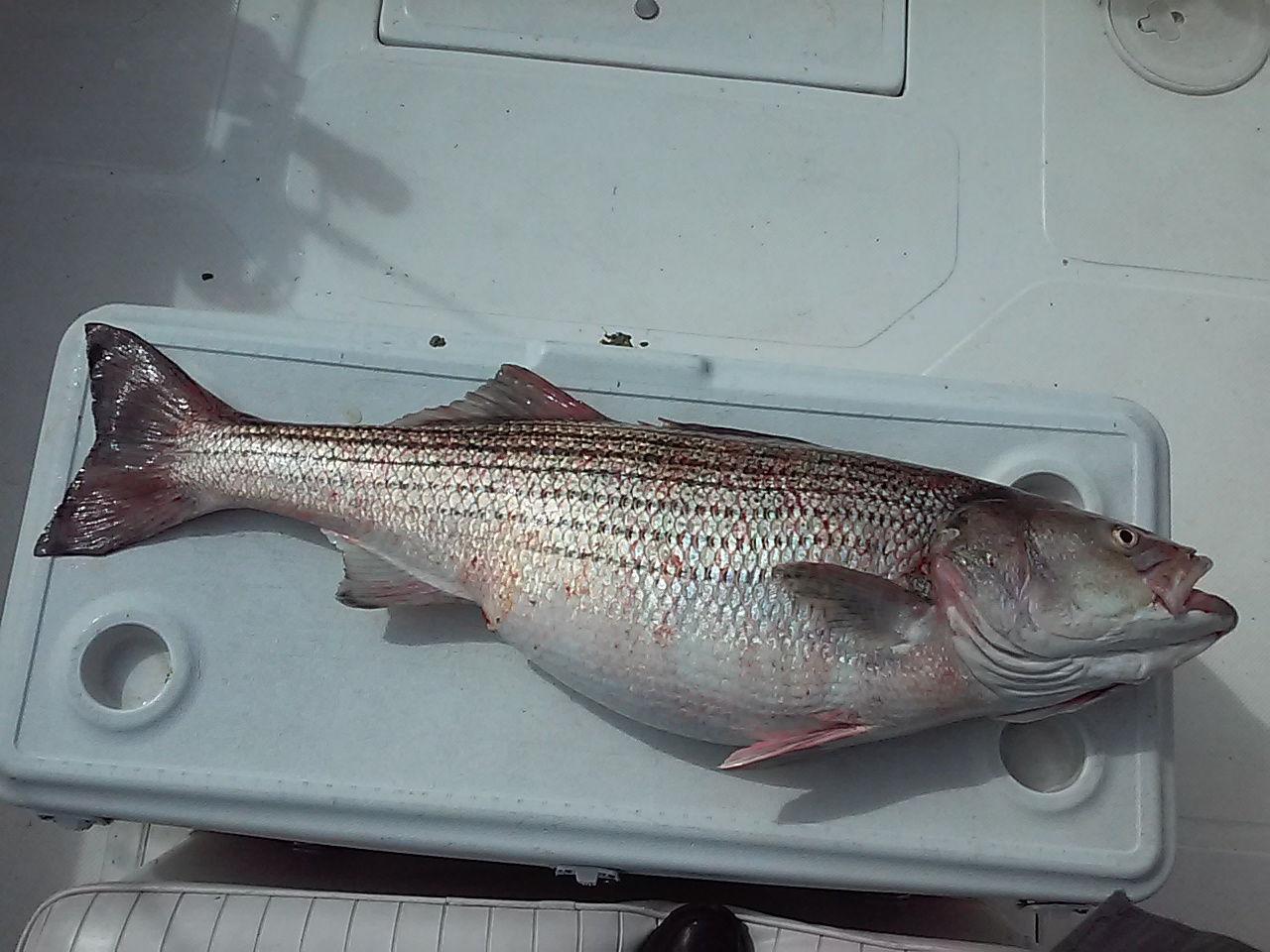 Hudson river striper report includes this fish