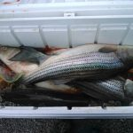 Cooler full of stripers from 2014