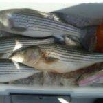 cooler full of Hudson River striped bass